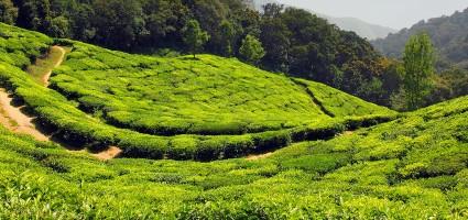 Tea ültetvények